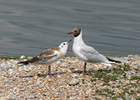 black-headed gull, feeding behaviour, michael gore