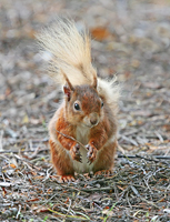 red squirrel, brownsea island, michael gore