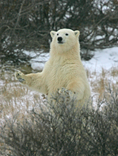 polar bear, michael gore, churchill