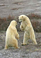 polar bears, michael gore, churchill