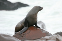 cape fur seal, michael gore