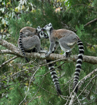 ring-tailed lemur, michael gore