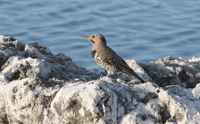 common flicker, michael gore