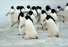 adelie penguins, michael gore