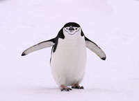chinstrap penguin, michael gore