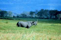 black rhinocerps, rhinoceros, endangered species