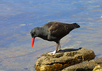 black oystercatcher, falkland islands