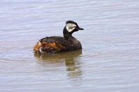 white-tufted grebe, falkland islands