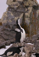 chinstrap penguin, penguin braying, michael gore
