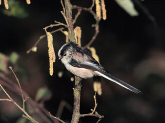 long-tailed tit, michael gore
