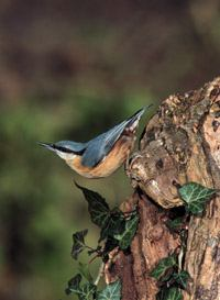 nuthatch, michael gore