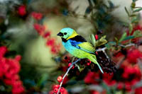 green-headed tanager, tanager, michael gore