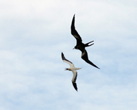 frigeatebird, red-footed booby, michael gore