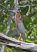 green-backed heron, michael gore
