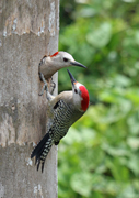west indian woodpecker, michael gore