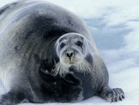 bearded seal, michael gore, svalbard