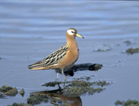 red phalarope, grey phalarope, michael gore