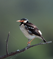 pied starling, michael gore