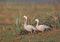 Bar-headed geese, michael gore