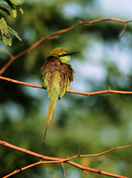 bee-eater, green bee-eater, michael gore