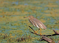 indian pond heron, indian birds, pond heron, michael gore