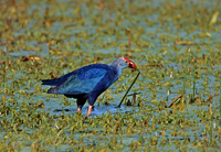 purple swamphen, gallinule, michael gore