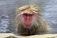 japanese snow monkey, michael gore