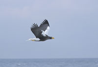 steller's sea-eagle, japanes birds, michael gore