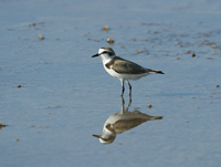 greater sand-plover, michael gore, plover, migration, cyprus wildlife