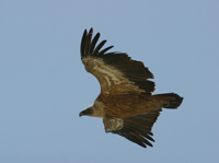 griffon vulture, threatened species, michael gore, cyprus wildlife