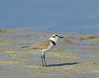kentish plover, cyprus wildlife