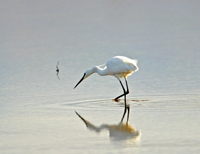 little egret, michael gore, cyprus birds