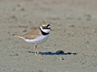little ringed plover, michael gore, cyprus wildlife