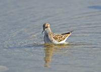 little stint, michael gore, cyprus wildlife
