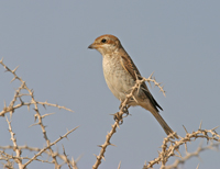 re-backed shrike