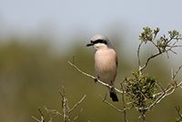 red-backed shrike, michael gore