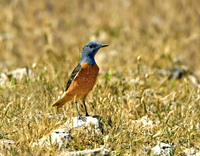 rock thrush, michael gore, cyprus birds, cyprus wildlife