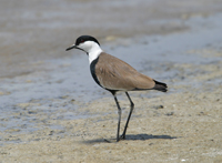 spur-winged plover, plover, cyprus birds, michael gore