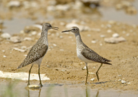 wood sandpiper, michael gore, palaearctic waders, courtship, aggression