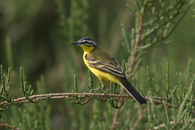 yellow wagtail, michael gore