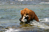 brown bear fishing, brooks falls, katmai, alaska, sockeye salmon
