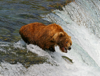 brown bear, fishing, salmon, brooks faslls, alsaka, michael gore