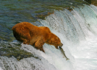 brown bear, katmai, brooks falls, michael gore bears fishing