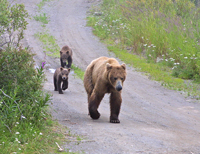 brown bears on road, katmai, brooks lodge, alaska, monica gore