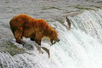 brown bear fishing, michael gore, sockeye salmon, brooks falls, katmai bears, michael gore