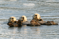prince william sound, michael gore, sea otters