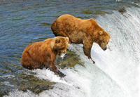 Katmai, brown bears fishing, michael gore