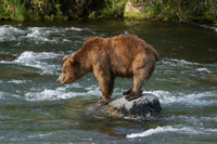 brown bear fishing, brooks river katmai, michael gore
