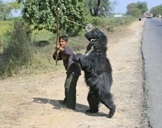 sloth bear, cruelty