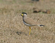 yellow-wattled plover